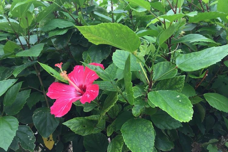 石垣島のハイビスカス