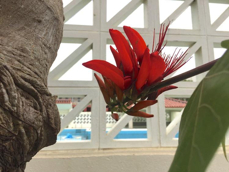 沖縄の県花デイゴの花アップ