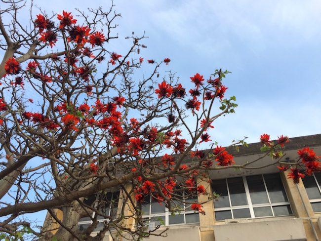 【石垣市】沖縄の県花デイゴの花