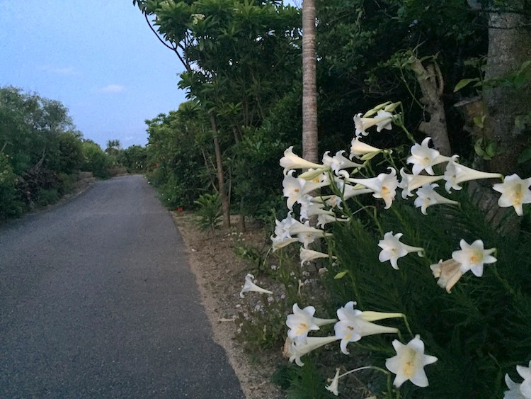 ニラカナイ小浜島のテッポウユリ