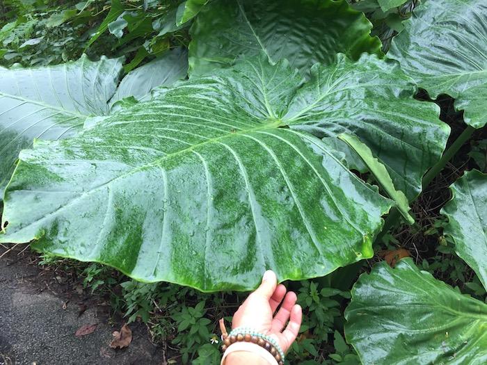 石垣島のトトロの傘みたいな葉は、クワズイモっていうらしい。