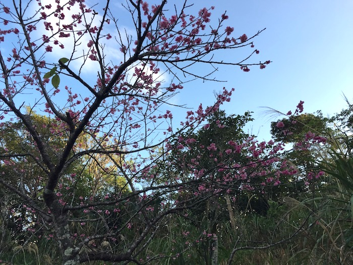 【沖縄県・石垣島】1月中旬だけど寒緋桜(カンヒザクラ)が開花したよ!